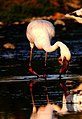 Lesser Flamingo near Jamnagar railway station DSCN0681 1.jpg