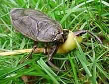 Lethocerus americanus.jpg