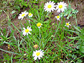 Leucanthemun vulgare habitus 2010January24 SierraMadrona.jpg