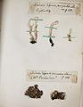 Lichenes Helvetici pars altera 021.jpg