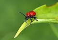 Lilioceris lilii 8833.jpg