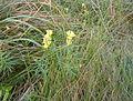 Linaria vulgaris, Pancake Bay 1.JPG
