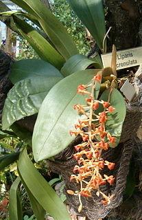 <i>Liparis</i> (plant) genus of plants
