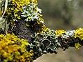 Liquen - lichen - Physcia cf. leptalea con Xanthoria parietina (8650793224).jpg