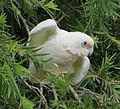 Little Corella (Cacatua sanguinea) 03.jpg