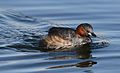 Little Grebe (or Dabchick), Tachbaptus ruficollis, at Marievale, Nature Reserve, Gauteng, South Africa (28805387724).jpg