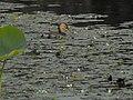 Little grebe 07.jpg