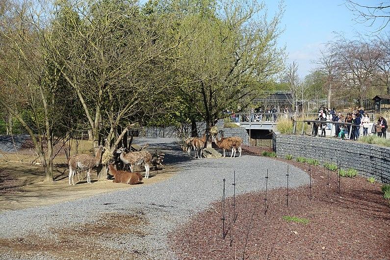 Llamas @ Parc Zoologique de Paris (Zoo) @ Paris (25741263934).jpg