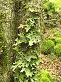Lobaria pulmonaria Foresta Umbra.jpg