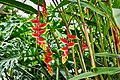 Lobster Claw (Heliconia Rostrata) (49375479091).jpg