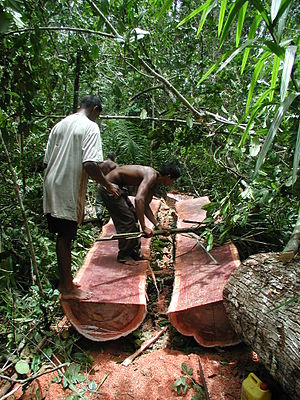 Tropical forest - Image: Logging Bulletwood Berbice Guyana JK