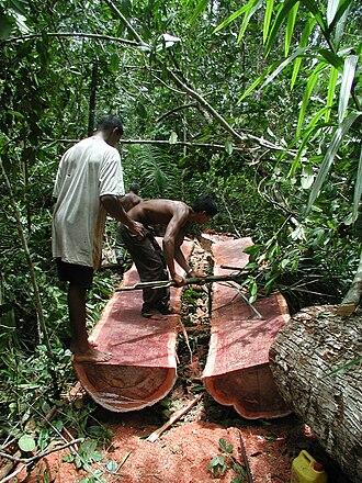Manilkara bidentata - Harvesting bulletwood in Guyana
