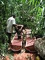 Logging Bulletwood Berbice-Guyana JK.JPG