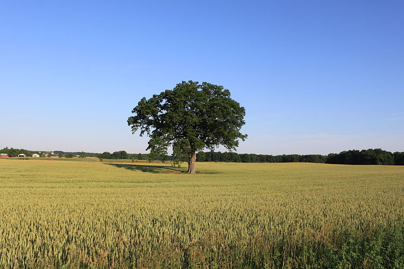 File:Lone Tree in a Wheat Field Gensley Road Lodi Township Michigan.JPG