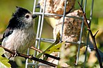 Long-Tailed Tit - Summer Leys (37499594850).jpg