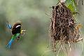 Long-tailed Broadbill (Psarisomus dalhousiae).jpg