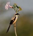 Long-tailed Shrike (Lanius schach) on Ipomoea carnea W IMG 6121.jpg