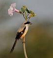 Long-tailed Shrike (Lanius schach) on Ipomoea carnea W IMG 6121.jpg