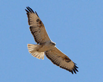 Desert National Park - Long legged buzzard flying over the desert national Park