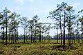 Longleaf Pine Stand (5763301870).jpg