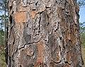 Longleaf pine bark.jpg