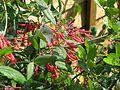 Lonicera sempervirens Cedar Lane - Flickr - peganum.jpg
