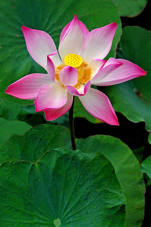 Lotus flower from the Mekong Delta, Vietnam