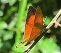 Loxura atymnus - Yamfly at Mayyil 09.jpg