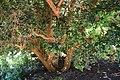 Luma apiculata 4.jpg
