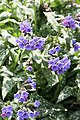 Lungwort (Pulmonaria) Trevi Fountain (3545399123).jpg