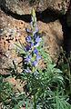 Lupinus angustifolius 20150401 a.jpg