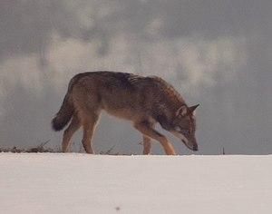 Italian wolf - C. l. italicus, Medelana, Bologna