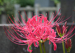 Lycoris radiata247396190.jpg
