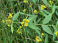 Lysimachia vulgaris Kiev2.JPG