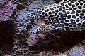 Lysmata amboinensis cleans mouth of a Moray eel.jpg