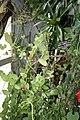 Macleania insignis (3073340368).jpg