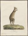 Macropus giganteus - 1700-1880 - Print - Iconographia Zoologica - Special Collections University of Amsterdam - UBA01 IZ20300015.tif