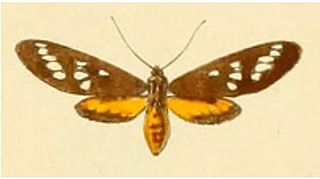 <i>Maculonaclia</i> Genus of moths