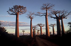 Baobabi înalți pe marginea unei piste de nisip la apus