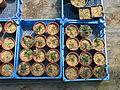 Mahonia nervosa seedlings (14585307665).jpg