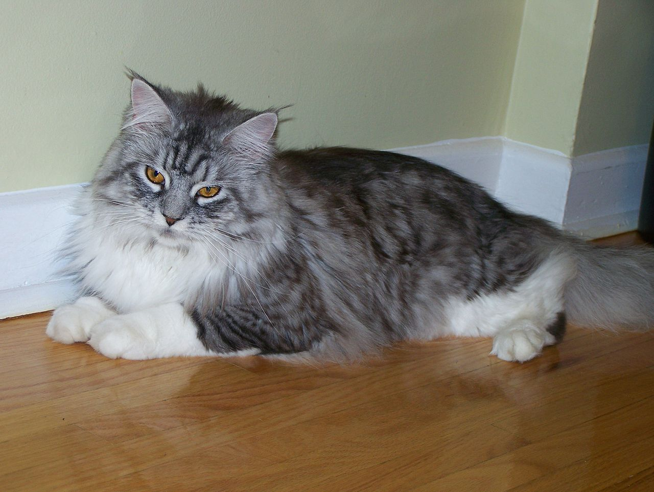 File Maine Coon Cat Toronto Home Jpg Wikimedia Commons