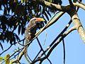 Malabar Grey Hornbill DSCN8032.jpg