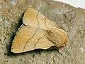 Malacosoma neustria ♂ - The Lackey (male) - Коконопряд кольчатый (самец) (39195476390).jpg