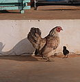 Malay hen and chick, cropped.jpg