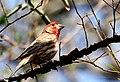 Male House Finch (Carpodacus mexicanus) 107279754.jpg