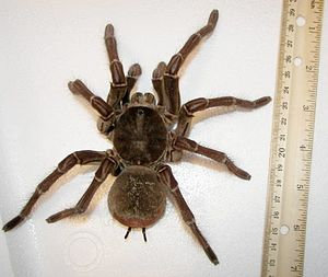 English: Goliath birdeater next to a ruler.
