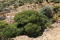 Malta - Ghajnsielem - Comino - Euphorbia melitensis 06 ies.jpg