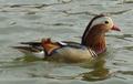 Mandarin duck Beihai park.png