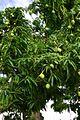 Mangifera indica (Manguier 2).jpg