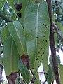 Mango Tree with Leaf Spots.jpg